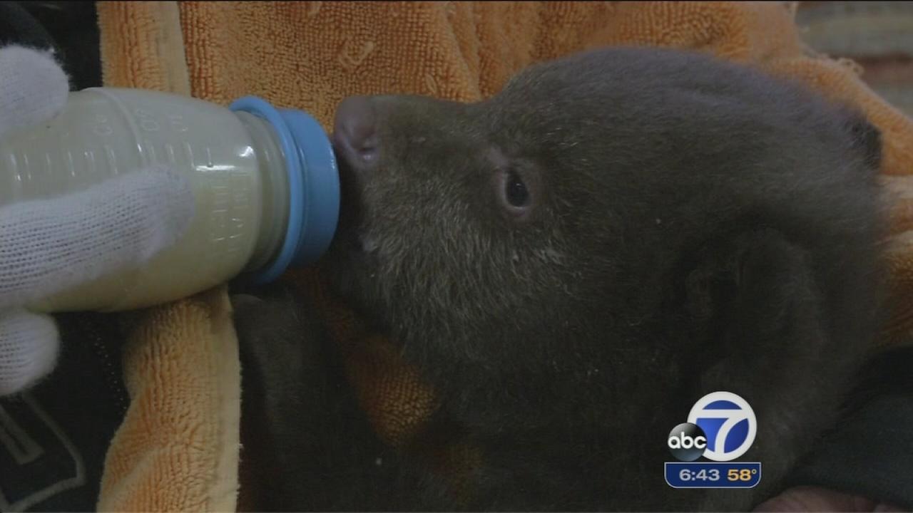 Rescued bear cubs start new life in the wild