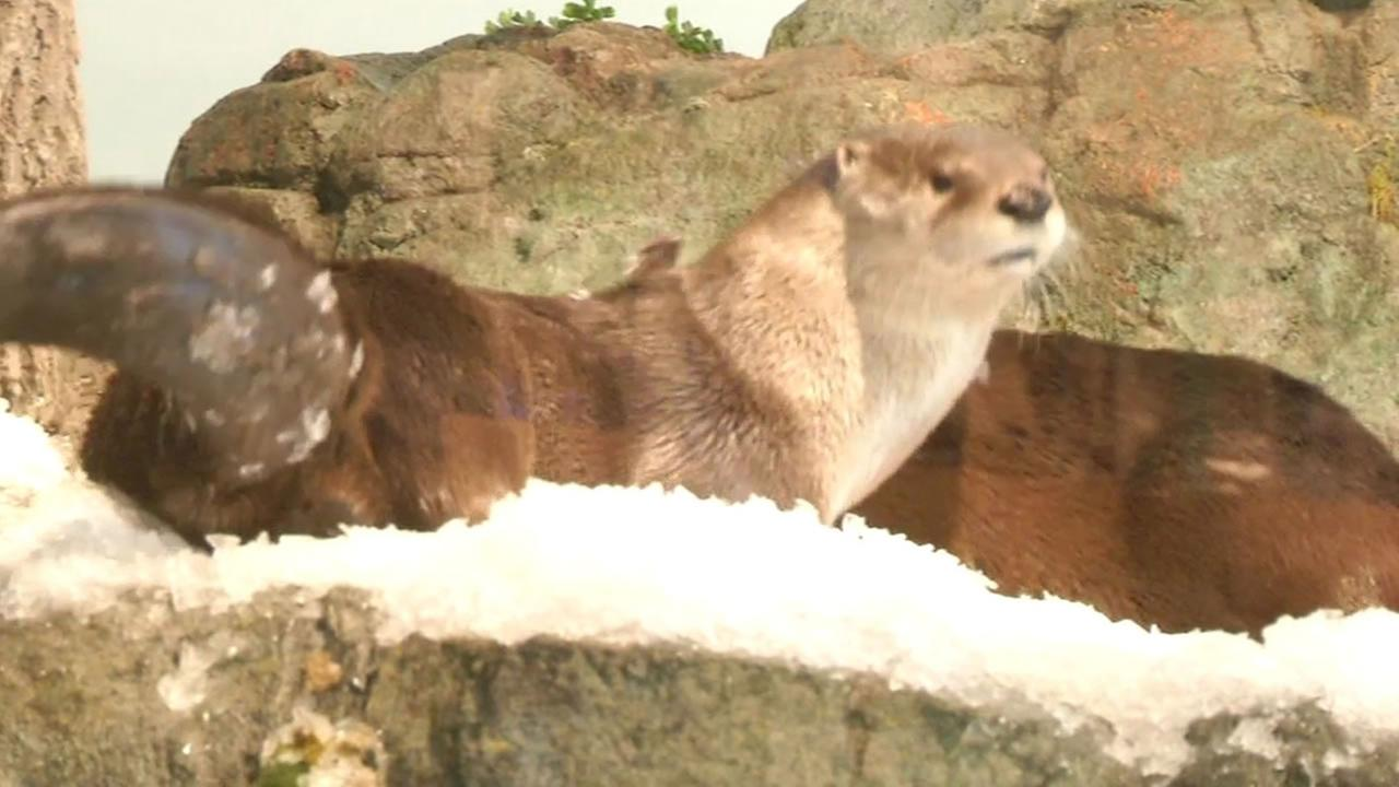Three North American river otters loved rolling and sliding in the snow packed into their enclosure.