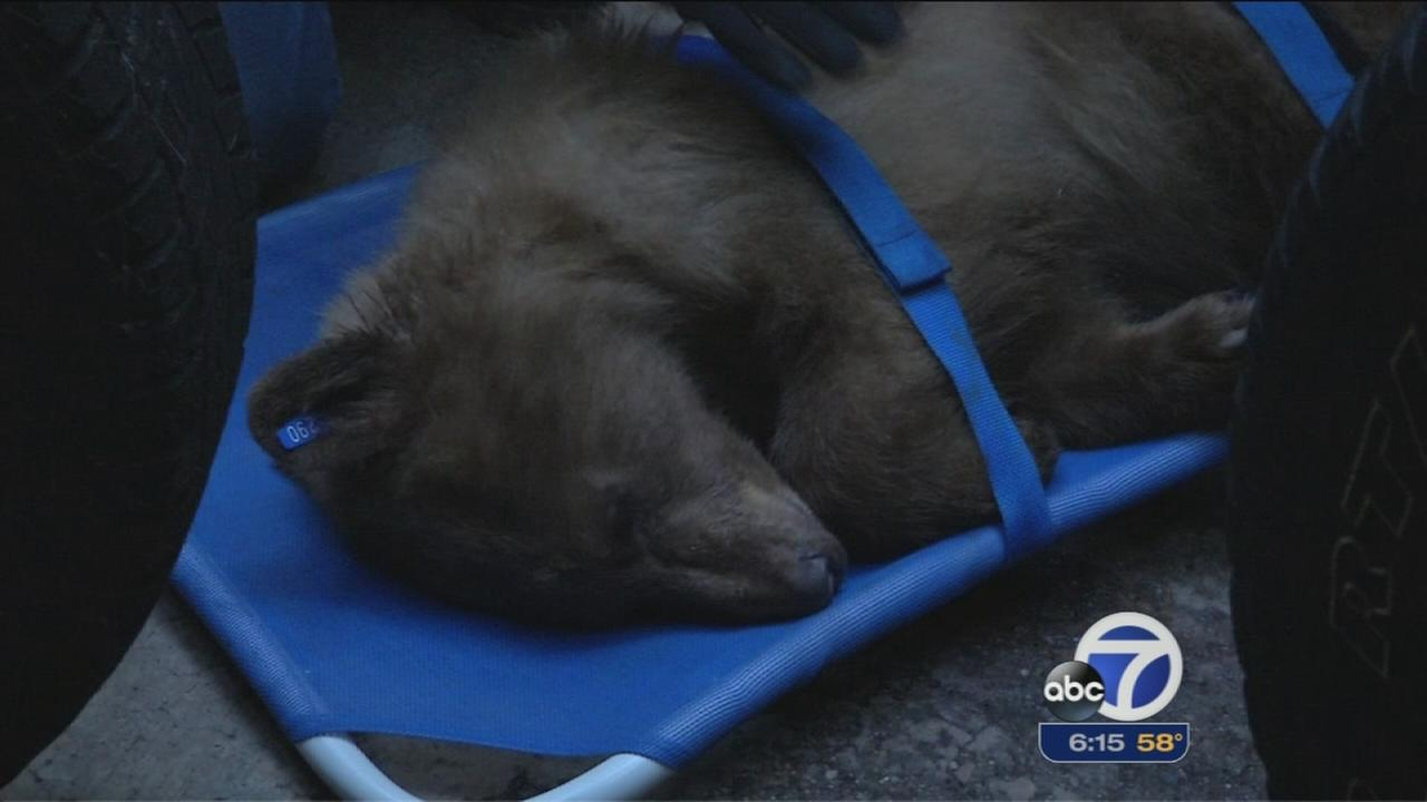 Lake Tahoe bear back at rehab center