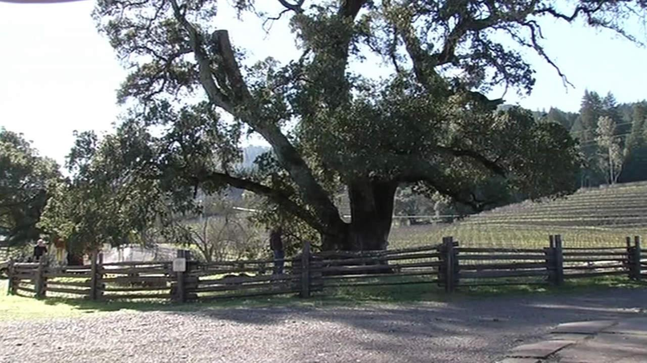 Historic oak tree at Jack London State Park gets reprieve