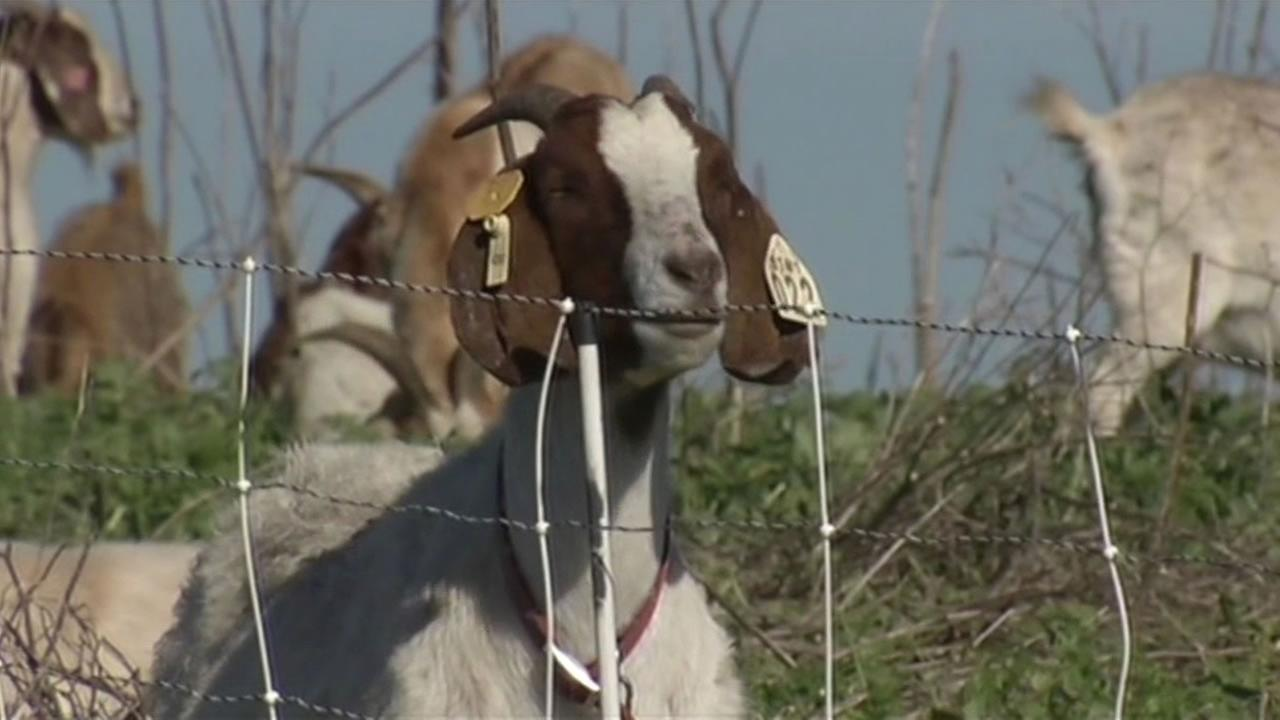 The National Park Service is using goats to remove non-native plants from the Point Reyes National Seashore.