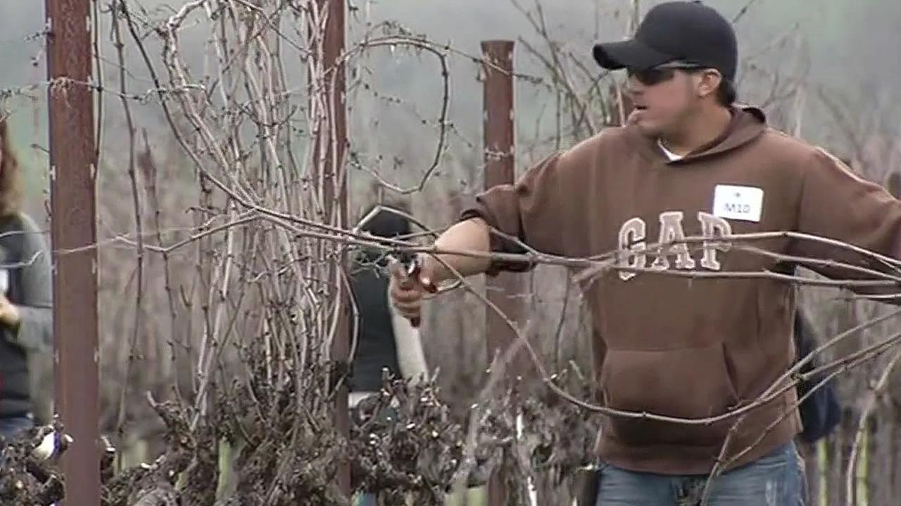 A Napa Valley vineyard worker competes in vine trimming contest