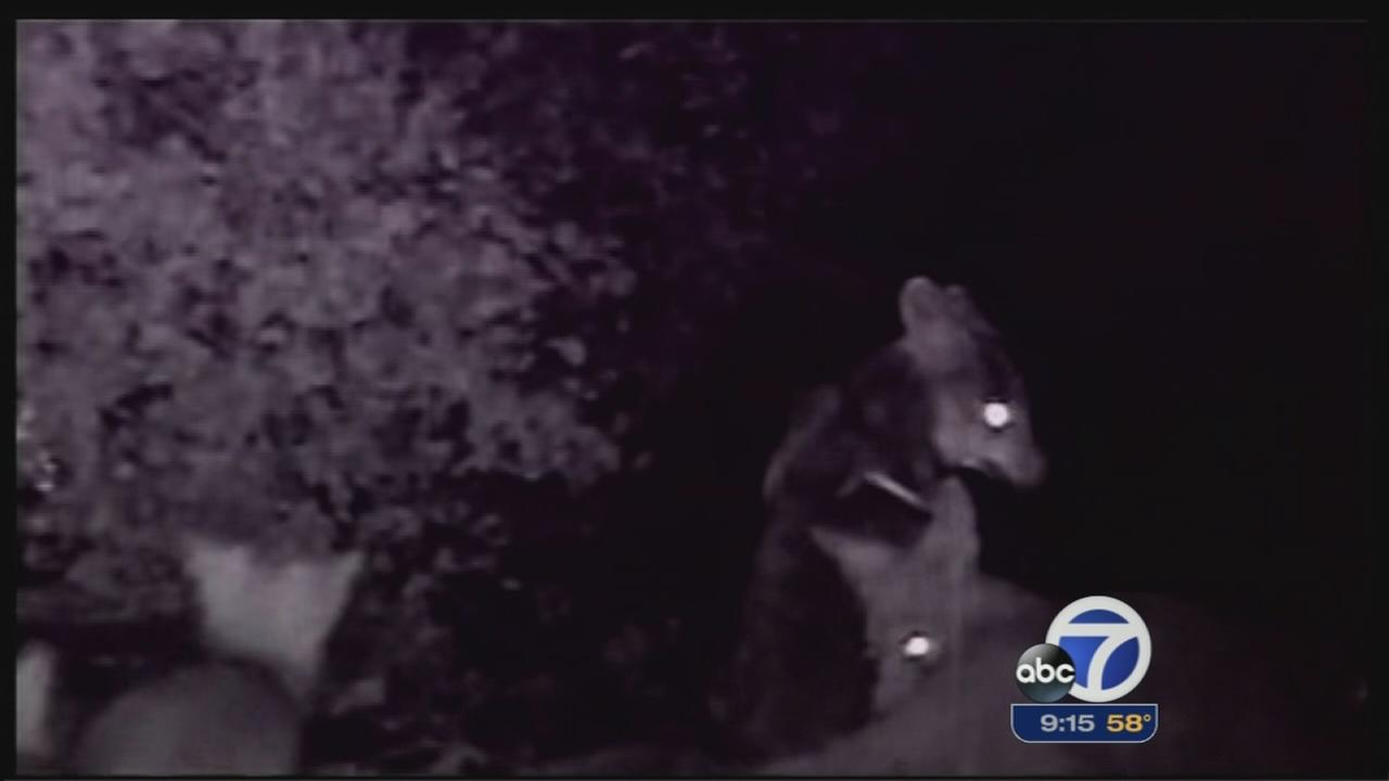 Coyotes causing problems in South Bay
