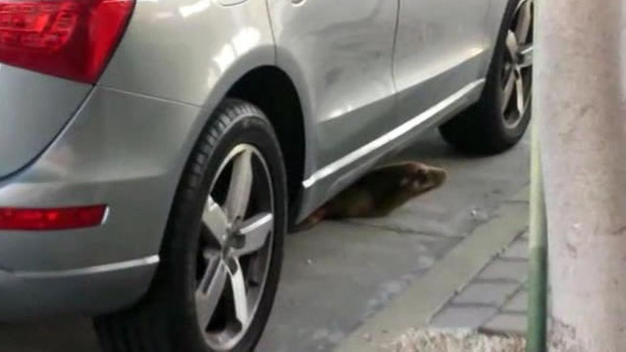 A sea lion pup is now in rehabilitation after police and trained rescuers pulled him out from under an SUV in San Franciscos Marina District on Thursday, April 30, 2015.