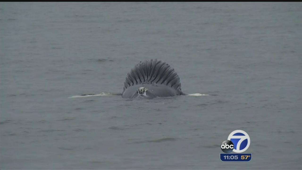Volunteers keep close watch on dead beached whale