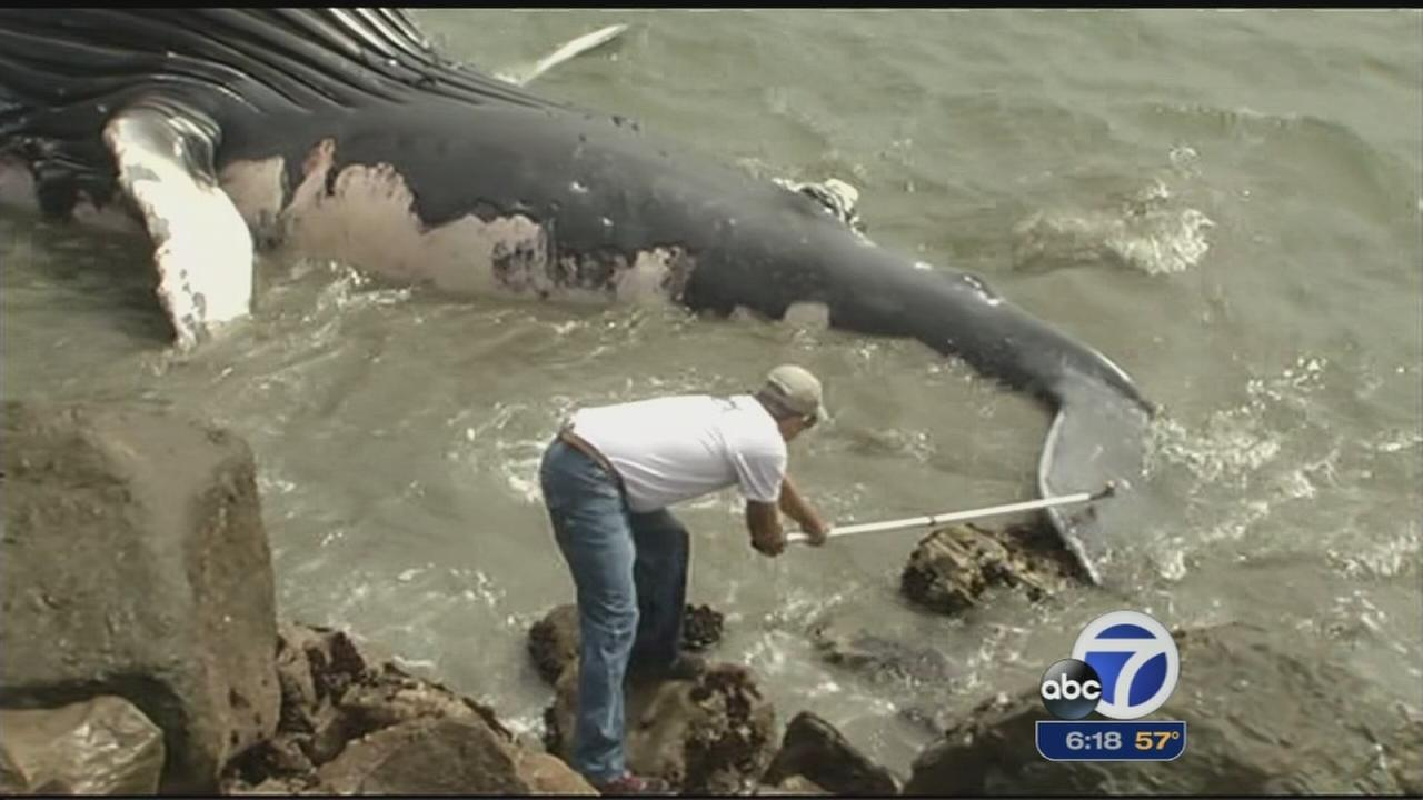 Scientists hope to determine why young whale died