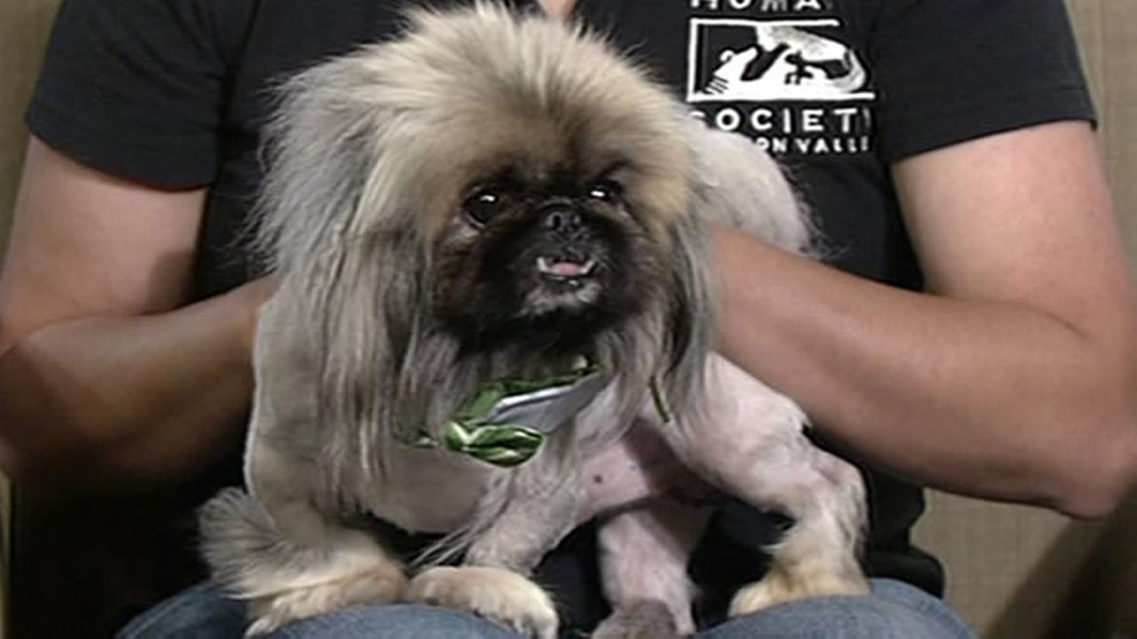 This weeks Perfect Pet is Magic Mike the Chippendog!