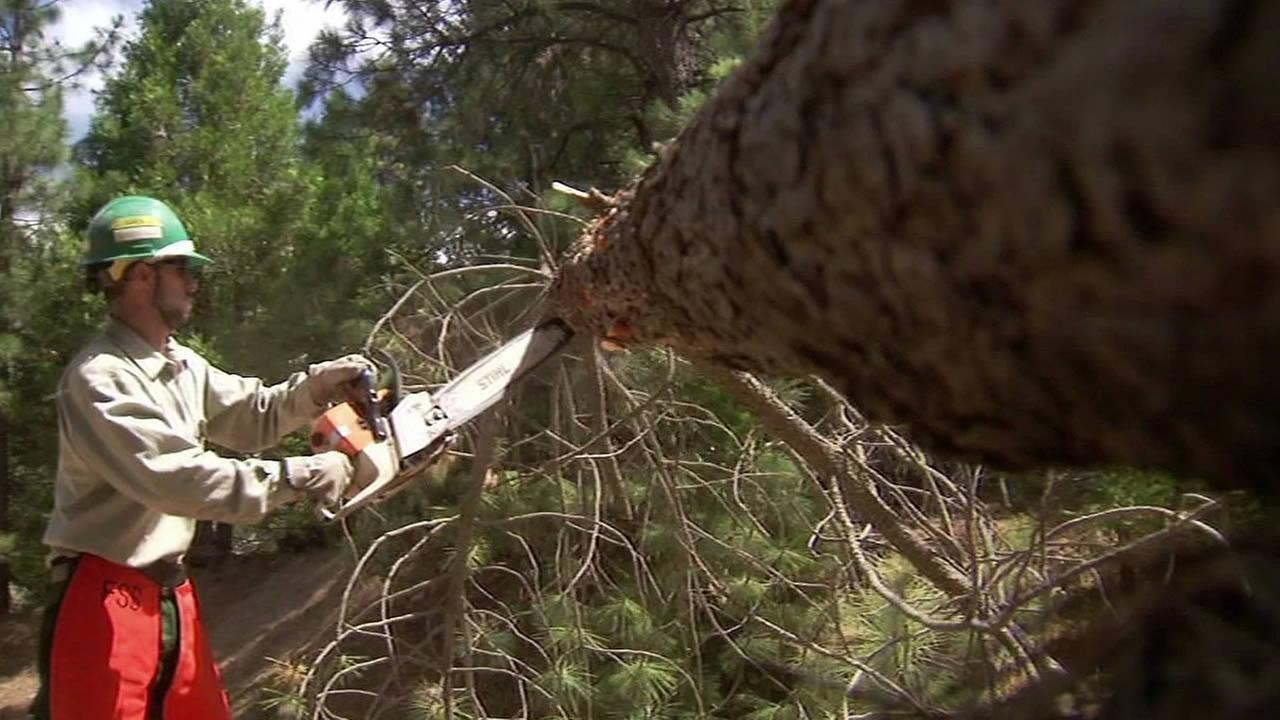 U.S. Forest Service worker cuts down a tree
