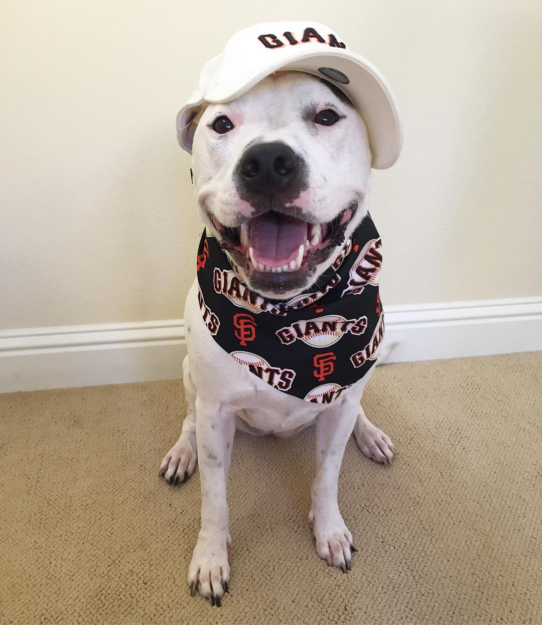 <div class='meta'><div class='origin-logo' data-origin='none'></div><span class='caption-text' data-credit='Photo submitted to KGO-TV by @ksadiepitopotamus/Instagram'>ABC7 viewers are showing off their San Francisco Giants fan pride. Share yours by tagging them #abc7now!</span></div>