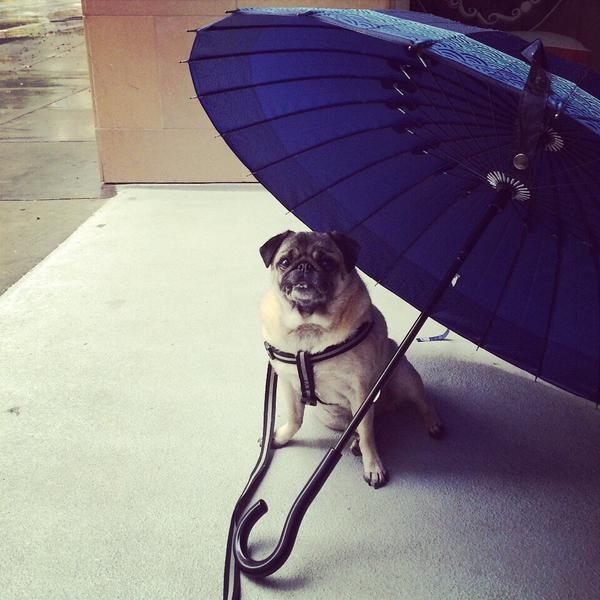 "<div class=""meta image-caption""><div class=""origin-logo origin-image ""><span></span></div><span class=""caption-text"">It's raining cats and dogs on Thursday, Dec. 11, 2014. This pug would rather be in his Snuggle Bed! (petplaysf/Twitter)</span></div>"