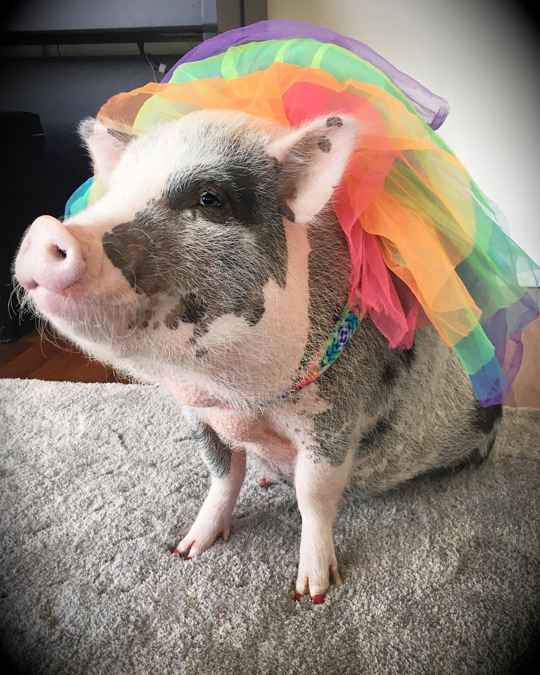 <div class='meta'><div class='origin-logo' data-origin='none'></div><span class='caption-text' data-credit=''>Lilou the pig is dressed up in rainbow colors to celebrate Pride. Photo submitted to KGO-TV by @lilous_sfpig/Instagram</span></div>