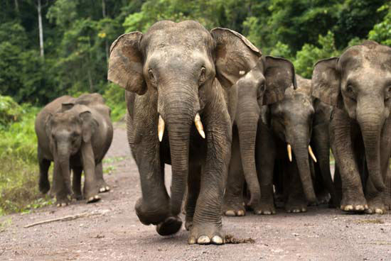 <div class='meta'><div class='origin-logo' data-origin='none'></div><span class='caption-text' data-credit='HUTAN KOCP'>The entire population of the little-known Asian elephant subspecies in Borneo has been reduced to around 2,000 in the wild</span></div>