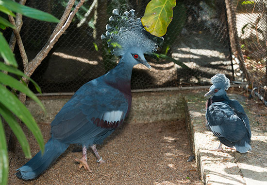 "<div class=""meta image-caption""><div class=""origin-logo origin-image none""><span>none</span></div><span class=""caption-text"">The Victoria Crowned pigeon hatched on January 24.     The gender of the party-hatted bird is still unknown.  Its brother was hatched back on December 21 of last year. (Houston Zoo)</span></div>"