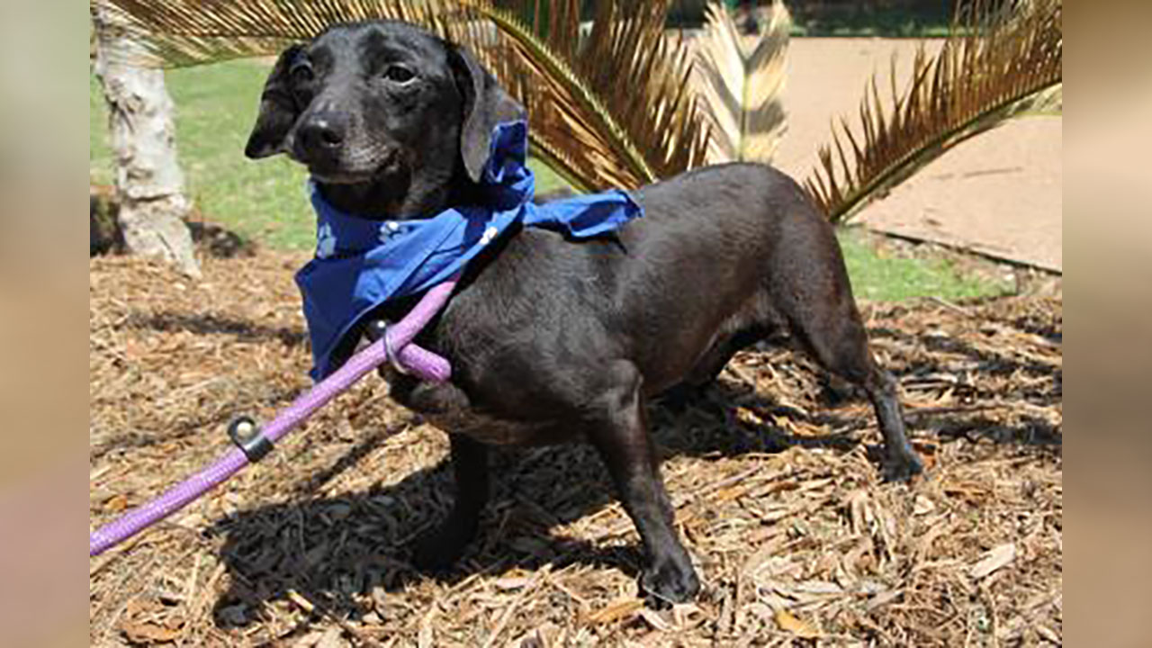 <div class='meta'><div class='origin-logo' data-origin='none'></div><span class='caption-text' data-credit='Houston Humane Society'>Bronson is a 5 year-old Chihuahua/dachshund mix who is great with other dogs, but is still learning to trust people. He is heartworm positive and in need of a foster home.</span></div>