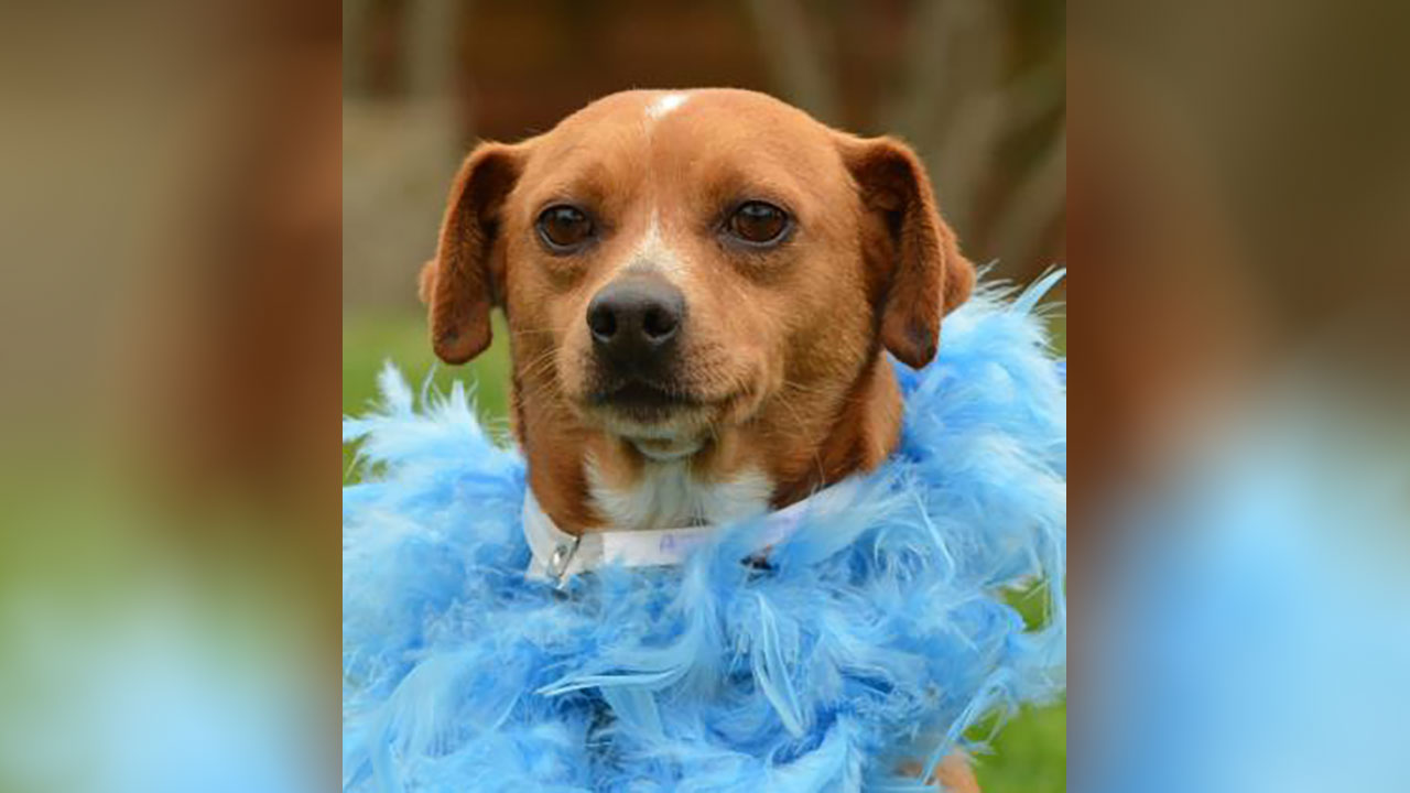 <div class='meta'><div class='origin-logo' data-origin='none'></div><span class='caption-text' data-credit='Houston Humane Society'>Chaco is a 5 year-old terrier/Chihuahua mix. He's a calm, low maintenance guy that would love to find a family of his own. He's ready to start heartworm treatment.</span></div>