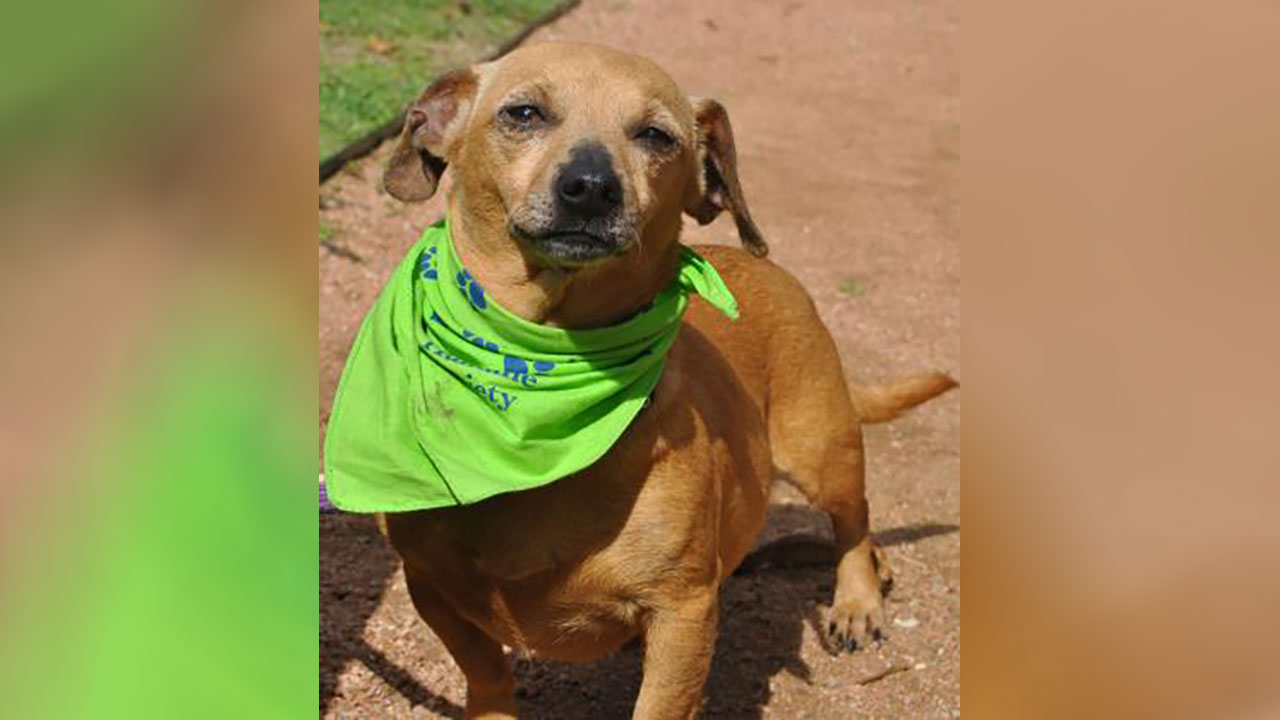 <div class='meta'><div class='origin-logo' data-origin='none'></div><span class='caption-text' data-credit='Houston Humane Society'>Cynthia is a 5 year-old Chihuahua mix. She's great with other dogs, good with people. She needs to go through heartworm treatment, and she is available for foster or adoption.</span></div>
