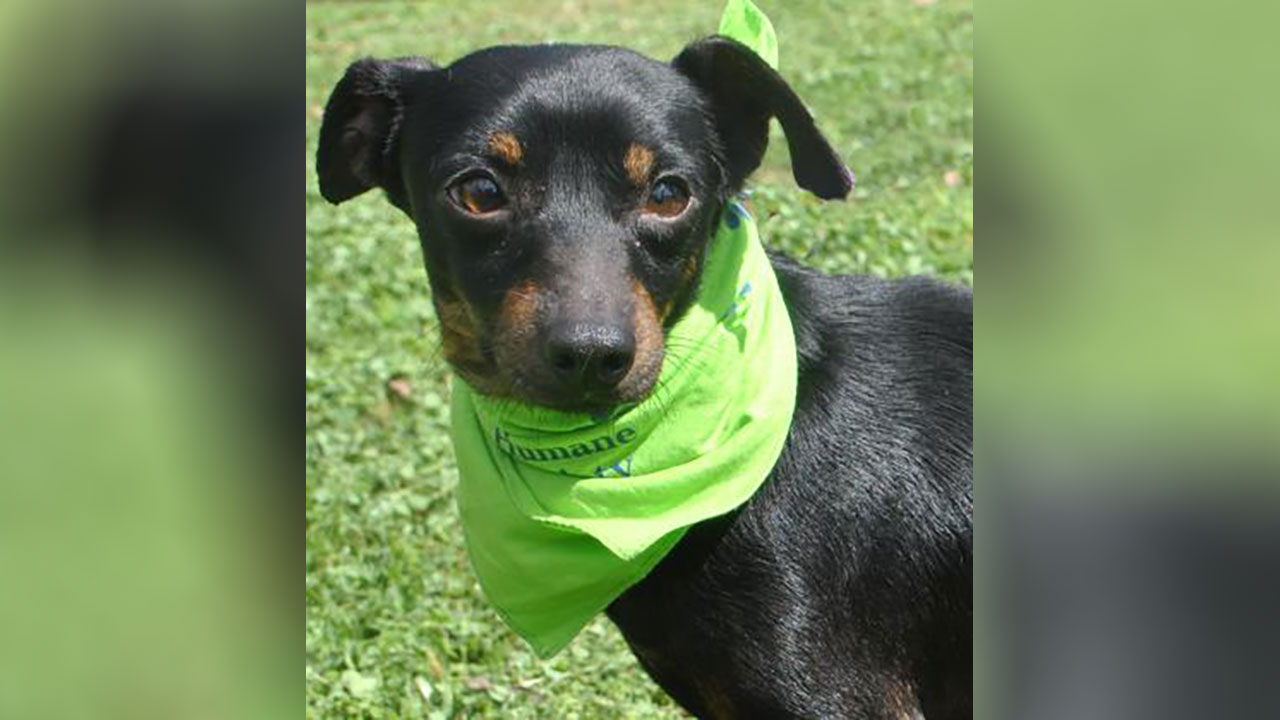<div class='meta'><div class='origin-logo' data-origin='none'></div><span class='caption-text' data-credit='Houston Humane Society'>Laslo is a 5 year-old Chihuahua/dachshund mix. He's a mellow guy that enjoys being a lap dog. He is ready to start heartworm treatment as soon as a foster or adopter steps up.</span></div>