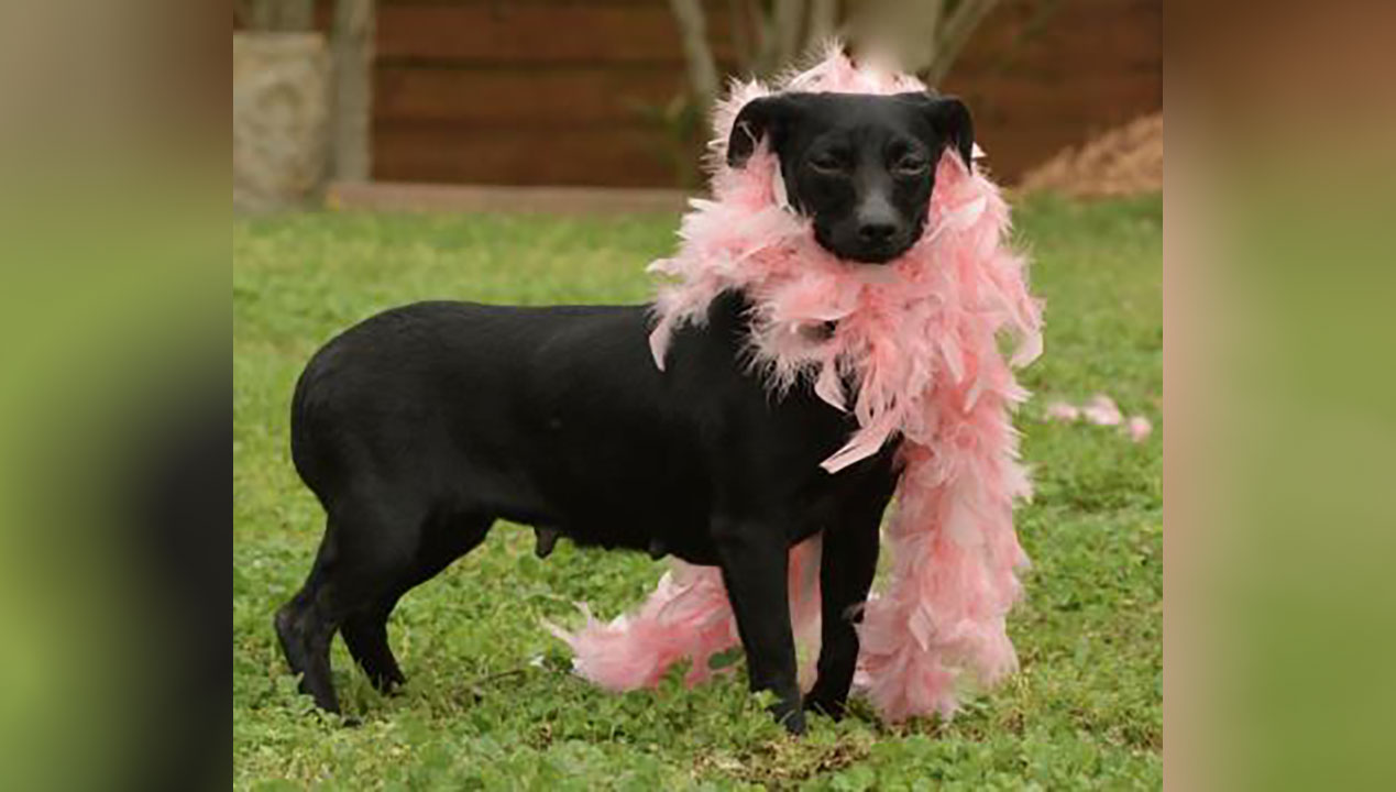 <div class='meta'><div class='origin-logo' data-origin='none'></div><span class='caption-text' data-credit='Houston Humane Society'>Peggy Lee is a 4 year-old dachshund/Chihuahua mix. She is one of the shyest dogs rescued from the hoarding case. Peggy Lee needs heartworm treatment.</span></div>