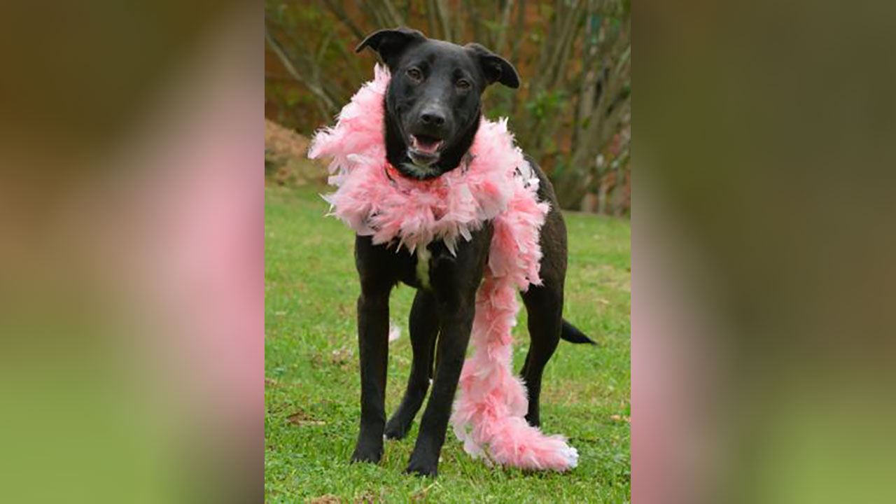 <div class='meta'><div class='origin-logo' data-origin='none'></div><span class='caption-text' data-credit='Houston Humane Society'>Rey is a 1-year-old retriever mix. She needs a foster to help her with socialization with people.  She likes going for walks with volunteers, and she's heartworm negative.</span></div>