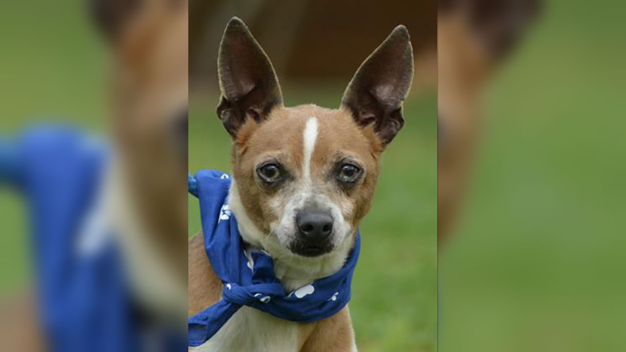 <div class='meta'><div class='origin-logo' data-origin='none'></div><span class='caption-text' data-credit='Houston Humane Society'>Trevor is an 8-year-old Chihuahua mix. He is fantastic with other dogs. He's ready to start heartworm treatment as soon as a foster or adopter is found.</span></div>