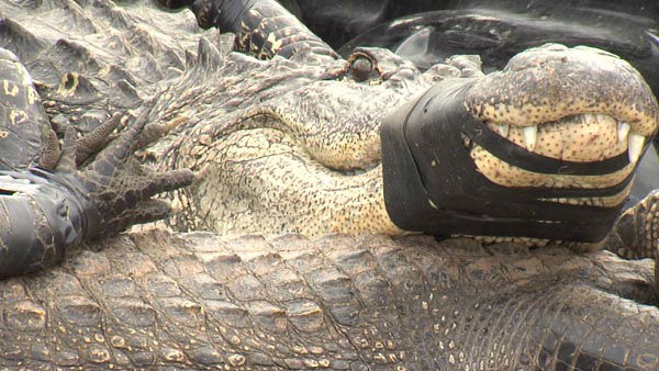 """<div class=""""meta image-caption""""><div class=""""origin-logo origin-image none""""><span>none</span></div><span class=""""caption-text"""">A couple came face-to-face with a 400 pound live alligator in their southeast Texas backyard (Photo/KBMT)</span></div>"""