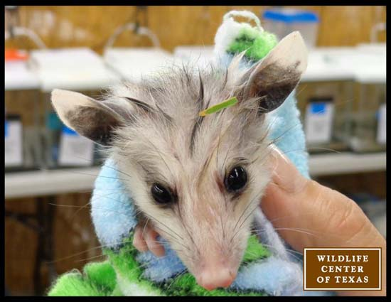 "<div class=""meta image-caption""><div class=""origin-logo origin-image ktrk""><span>KTRK</span></div><span class=""caption-text"">A baby opossum seen at The Wildlife Center of Texas (The Wildlife Center of Texas)</span></div>"