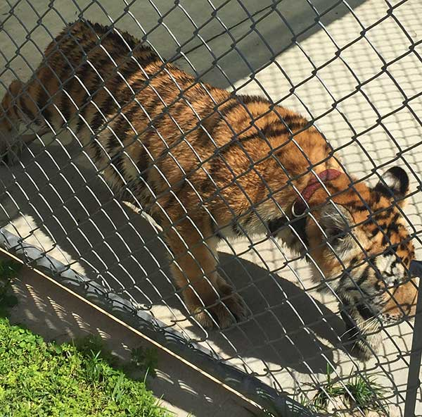 <div class='meta'><div class='origin-logo' data-origin='none'></div><span class='caption-text' data-credit=''>Conroe police found the tiger wandering on the loose</span></div>