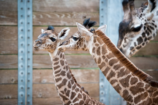 <div class='meta'><div class='origin-logo' data-origin='none'></div><span class='caption-text' data-credit='Stephanie Adams/Houston Zoo'>Monday morning brought the welcome arrival of a second baby giraffe in two weeks for the Houston Zoo herd.</span></div>
