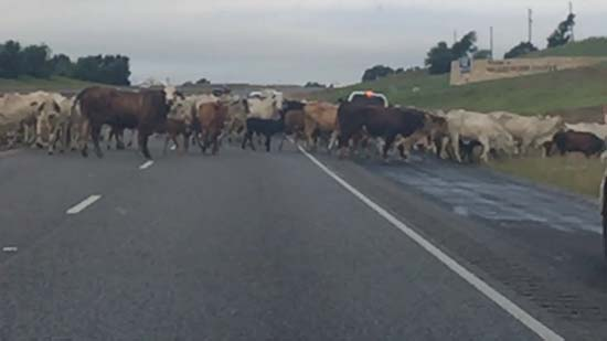 <div class='meta'><div class='origin-logo' data-origin='KTRK'></div><span class='caption-text' data-credit='Waller County Sheriff's Office'>More than 100 head of cattle crossing 290 managed to close down the roadway at the Brazos River Bridge on May 27, 2016.</span></div>