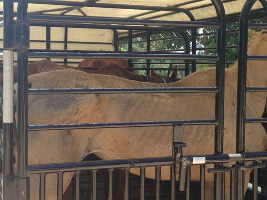 <div class='meta'><div class='origin-logo' data-origin='none'></div><span class='caption-text' data-credit='KTRK/Kaitlin McCulley'>The Houston SPCA and Montgomery County officials are investigating the Calico Dairy Farm in Conroe where around 200 horses were seized</span></div>