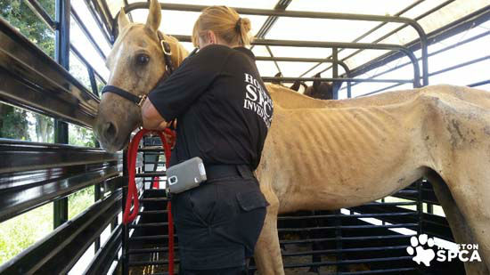 <div class='meta'><div class='origin-logo' data-origin='none'></div><span class='caption-text' data-credit='Photo/Houston SPCA'>A horse seen at a Conroe farm seized by Montgomery County authorities and the Houston SPCA</span></div>