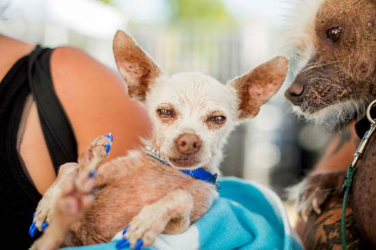 <div class='meta'><div class='origin-logo' data-origin='none'></div><span class='caption-text' data-credit='AP Photo/ Noah Berger'>Pork, a 13-year-old Chihuahua, gets some unwanted attention from a rival in the World's Ugliest Dog Contest</span></div>