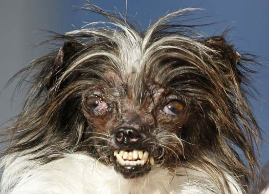 <div class='meta'><div class='origin-logo' data-origin='none'></div><span class='caption-text' data-credit='AP Photo/ George Nikitin'>Peanut, a two-year-old mutt was a previous winner of the World's Ugliest Dog Contest</span></div>