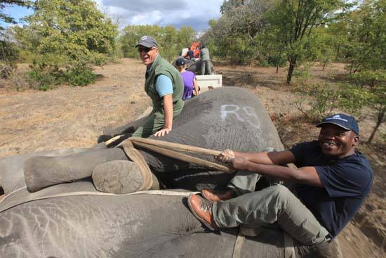 """<div class=""""meta image-caption""""><div class=""""origin-logo origin-image ap""""><span>AP</span></div><span class=""""caption-text"""">Elephants are tied ready for transportation, in Lilongwe, Malawi, in the first step of an assisted migration of 500 of the threatened species. (AP Photo/Tsvangirayi Mukwazhi)</span></div>"""