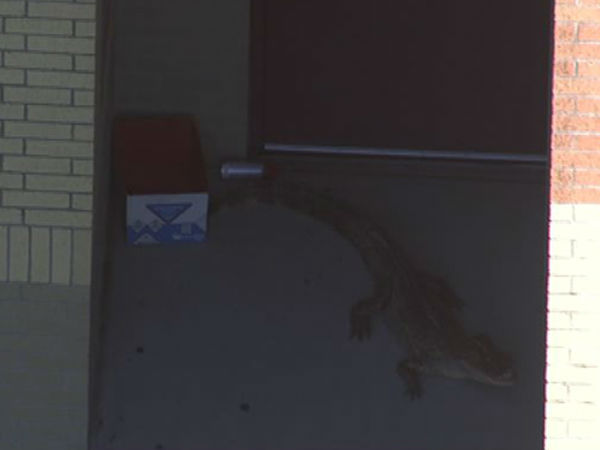 <div class='meta'><div class='origin-logo' data-origin='none'></div><span class='caption-text' data-credit=''>An alligator was spotted just outside Beck Jr. High School in Katy, Texas.</span></div>