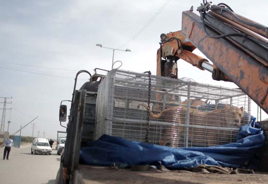"""<div class=""""meta image-caption""""><div class=""""origin-logo origin-image ap""""><span>AP</span></div><span class=""""caption-text"""">A lioness sits in a crate on a truck on the Palestinian side of Erez crossing with Israel in northern Gaza Strip. Monday, April. 11, 2016. (AP Photo/ Khalil Hamra)</span></div>"""