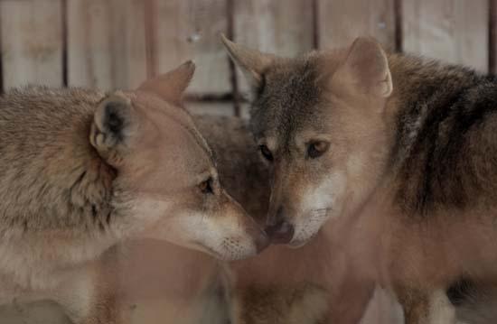 "<div class=""meta image-caption""><div class=""origin-logo origin-image ap""><span>AP</span></div><span class=""caption-text"">Wolves inside a damaged cage at Al-Bisan Zoo in northern Gaza Strip (AP Photo/ Khalil Hamra)</span></div>"