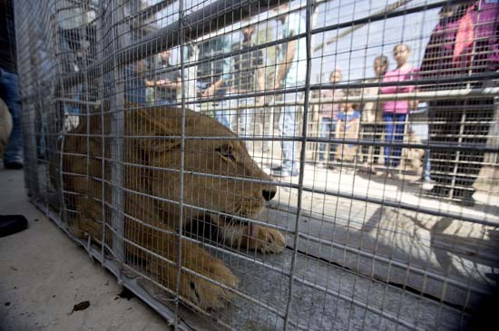 """<div class=""""meta image-caption""""><div class=""""origin-logo origin-image ap""""><span>AP</span></div><span class=""""caption-text"""">Palestinians look at a lioness after her arrival at a zoo in the Atil village near the West Bank city of Tulkarem, Monday, April 11, 2016 (AP Photo/Majdi Mohammed)</span></div>"""