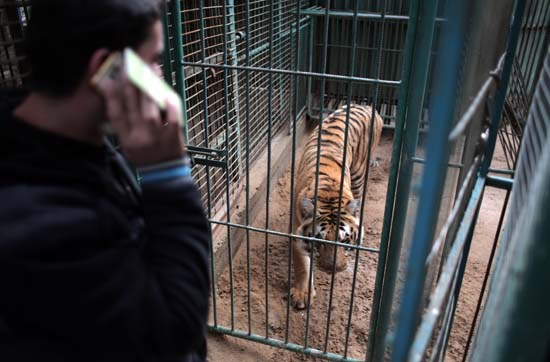 """<div class=""""meta image-caption""""><div class=""""origin-logo origin-image ap""""><span>AP</span></div><span class=""""caption-text"""">Palestinian owner of the South Jungle Zoo, Mohammed Ouida, stands in front of the cage of the emaciated African tiger, in Rafah, southern Gaza Strip. (AP Photo/ Khalil Hamra)</span></div>"""