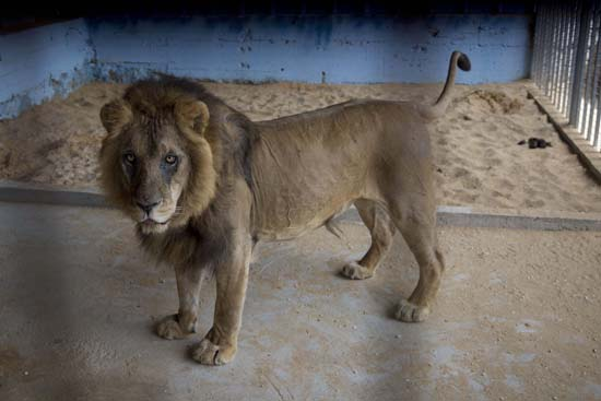 """<div class=""""meta image-caption""""><div class=""""origin-logo origin-image ap""""><span>AP</span></div><span class=""""caption-text"""">A lion, previously moved from Gaza, stands in a zoo in the Atil village near the West Bank city of Tulkarem (AP Photo/Majdi Mohammed)</span></div>"""
