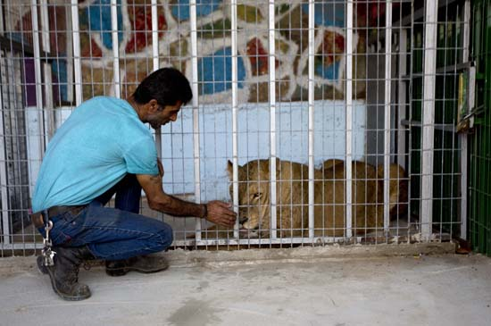 """<div class=""""meta image-caption""""><div class=""""origin-logo origin-image ap""""><span>AP</span></div><span class=""""caption-text"""">A Palestinians inspects a lioness after her arrival at a zoo in the Atil village near the West Bank city of Tulkarem (AP Photo/Majdi Mohammed)</span></div>"""