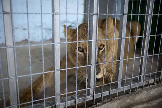 """<div class=""""meta image-caption""""><div class=""""origin-logo origin-image ap""""><span>AP</span></div><span class=""""caption-text"""">A lioness sits after her arrival at a zoo in the Atil village near the West Bank city of Tulkarem (AP Photo/Majdi Mohammed)</span></div>"""