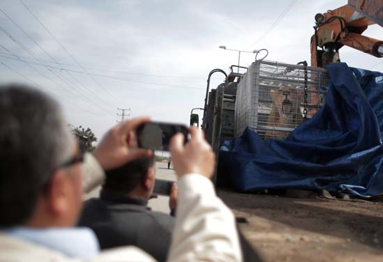 """<div class=""""meta image-caption""""><div class=""""origin-logo origin-image ap""""><span>AP</span></div><span class=""""caption-text"""">A Palestinian man photographs a lioness siting in a crate on a truck on the Palestinian side of Erez crossing with Israel in northern Gaza Strip. (AP Photo/ Khalil Hamra)</span></div>"""