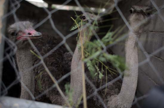 """<div class=""""meta image-caption""""><div class=""""origin-logo origin-image ap""""><span>AP</span></div><span class=""""caption-text"""">Ostriches try to eat from behind the fence of a damaged  s cage are in Al-Bisan Zoo in northern Gaza Strip. (AP Photo/ Khalil Hamra)</span></div>"""