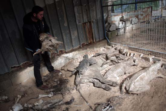 """<div class=""""meta image-caption""""><div class=""""origin-logo origin-image ap""""><span>AP</span></div><span class=""""caption-text"""">Palestinian owner of the South Jungle Zoo, Mohammed Ouida, shows mummified animals that died from hunger and Israeli strikes at the Jungle Zoo in Rafah, southern Gaza Strip. (AP Photo/ Khalil Hamra)</span></div>"""
