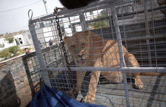 """<div class=""""meta image-caption""""><div class=""""origin-logo origin-image ap""""><span>AP</span></div><span class=""""caption-text"""">A lioness sits in a crate on a truck on the Palestinian side of Erez crossing with Israel in northern Gaza Strip. (AP Photo/ Khalil Hamra)</span></div>"""