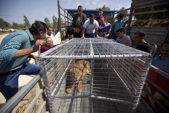 """<div class=""""meta image-caption""""><div class=""""origin-logo origin-image ap""""><span>AP</span></div><span class=""""caption-text"""">Palestinians look at a lioness after her arrival at a zoo in the Atil village near the West Bank city of Tulkarem (AP Photo/Majdi Mohammed)</span></div>"""