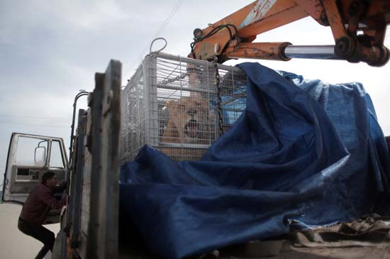 """<div class=""""meta image-caption""""><div class=""""origin-logo origin-image ap""""><span>AP</span></div><span class=""""caption-text"""">A lioness sits in a crate on a truck on the Palestinian side of Erez crossing with Israel in northern Gaza Strip. Monday, April. 11, 2016 (AP Photo/ Khalil Hamra)</span></div>"""