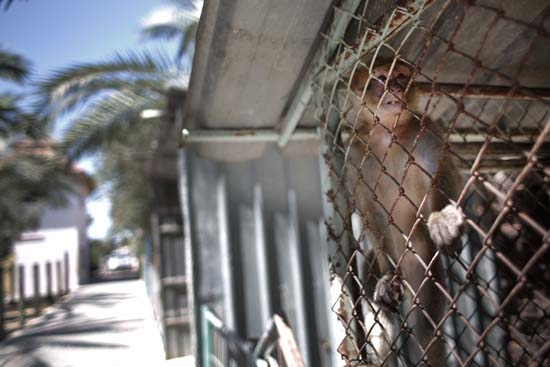 """<div class=""""meta image-caption""""><div class=""""origin-logo origin-image ap""""><span>AP</span></div><span class=""""caption-text"""">A monkey climbs the fence of a metal cage in a zoo in Khan Younis, southern Gaza Strip (AP Photo/Khalil Hamra)</span></div>"""
