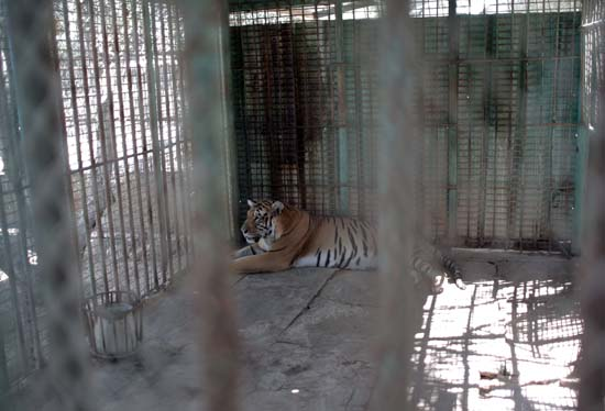 """<div class=""""meta image-caption""""><div class=""""origin-logo origin-image ap""""><span>AP</span></div><span class=""""caption-text"""">A tiger lays in a metal cage in a zoo in Khan Younis , southern Gaza Strip, Friday, Aug. 19, 2016 (AP Photo/ Khalil Hamra)</span></div>"""